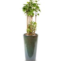 [플라워포유] 파비앙폴리샤스 (RM_RHS1055) [공기정화식물/관엽식물/개업화분/이사선물]