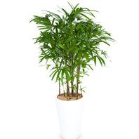 [플라워포유] 관음죽6호 (RM_RHS1006) [관엽식물/공기정화/개업/이사/화분]