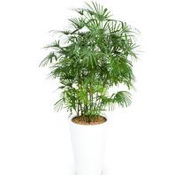[플라워포유] 종려죽 529k (RM_RHS1008) [관엽식물/공기정화/개업/이사/화분]