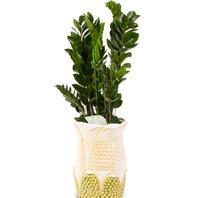 [플라워포유] 금전수(부자되세요) (공기정화식물/관엽식물/개업화분/이사선물]