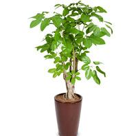 [플라워포유] 홍콩대엽 대엽홍콩 [관엽식물/공기정화/개업/이사/화분]