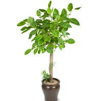 [플라워포유] 뱅갈고무나무 (사기분) (RM_RHS1014) [관엽식물/공기정화/개업화분]