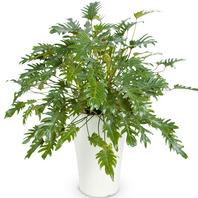[플라워포유] 필로덴드론 셀로움 (RM_RHS1016) [관엽식물/공기정화/개업/이사/화분]