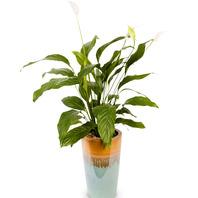[플라워포유] 스파트필름 (RM_RHS1017) [공기정화식물/관엽식물/화분배달/개업화분추천/창업선물/개업선물/이사선물/이사화분]
