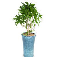[플라워포유] 자마이카 520k (RM_RHS1021) [관엽식물/공기정화식물/이사/개업화분]