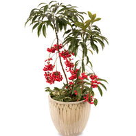 [플라워포유] 천냥금 (RM_RHS1022) [공기정화식물/관엽식물/개업화분/이사선물]