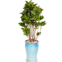 [플라워포유] 크로톤사기분 (RM_RHS1024) [관엽식물/공기정화/개업/이사/화분]
