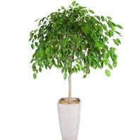 [플라워포유] 킹벤자민 (RM_RHS1025) [관엽식물/공기정화/개업/이사/화분]