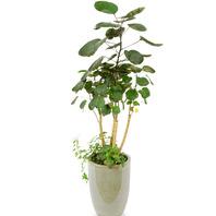 [플라워포유] 파비안 (RM_RHS1026) [관엽식물/공기정화/개업/이사/화분]