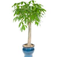 [플라워포유] 파키라 사기분(소) (RM_RHS1027) [관엽식물/공기정화식물/개업화분/이사화분]