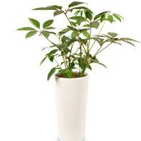 [플라워포유] 어메이트(대엽홍콩) (RM_RHS1029) [공기정화식물/관엽식물/개업화분/이사선물]