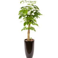 [플라워포유] 해피트리 552k (RM_RHS1031) [공기정화식물/관엽식물/개업선물/이사선물]