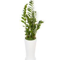 [플라워포유] 금전수(돈나무) (RM_RHS1051) [공기정화식물/관엽식물/개업화분/이사선물]