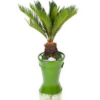 [플라워포유] 마블소철 501k (RM_RHS1054) [관엽식물/공기정화/개업/이사/화분]