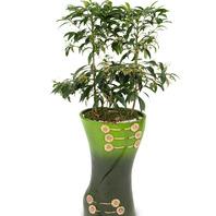 [플라워포유] 마블만냥금 508k (RM_RHS1056) [공기정화식물/관엽식물/개업화분/이사선물]