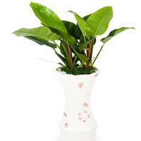 [플라워포유] 콩고 (RM_RHS1057) [관엽식물/공기정화/개업화분/이사화분]
