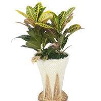 [플라워포유] NEW 크로톤 (RM_RHS1059) [공기정화식물/관엽식물/개업화분/이사선물]