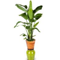 [플라워포유] 극락조 (RM_RHS1063) [관엽식물/공기정화식물/개업선물/이사선물]