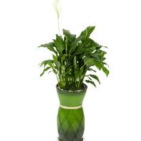 [플라워포유] 마블스파트필름 (RM_RHS1064) [공기정화식물/관엽식물/이사/개업]