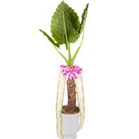 [플라워포유] 알로카시아 555h (RM_RHS1066) [공기정화식물/관엽식물/개업선물/이사선물]