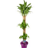 [플라워포유] 행운목 556h (RM_RHS1067) [공기정화식물/관엽식물/개업화분/이사선물]