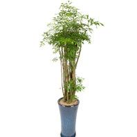 [플라워포유] 폴리시아스 558h (RM_RHS1069) [관엽식물/공기정화식물/이사화분/개업선물]