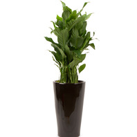 [플라워포유] 스파트필름 557k (RM_RHS1073) [공기정화식물/관엽식물/개업화분/이사화분]