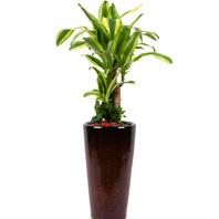 [플라워포유] 행운목사기분 (RM_RHS1079) [공기정화식물/관엽식물/개업화분/이사선물]