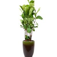 [플라워포유] 떡갈나무 (RM_RHS1083) [관엽식물/공기정화/개업/이사/화분]