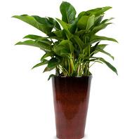 [플라워포유] 콩고(특) (RM_RHS1084) [관엽식물/공기정화/개업/이사/화분]