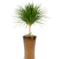 [플라워포유] 드라코 (RM_RHS1086) [공기정화식물/관엽식물/개업선물/이사선물]