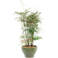 [플라워포유] 남천 (RM_RHS1090) [관엽식물/공기정화/개업/이사/화분]