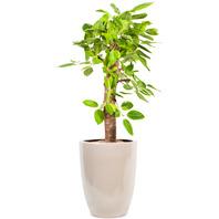 [플라워포유] 뱅갈고무나무 [관엽식물/공기정화/개업/이사/화분]