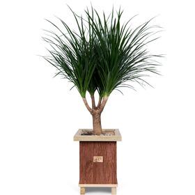 [플라워포유] 드라코 [공기정화식물/관엽식물/개업선물/이사선물]