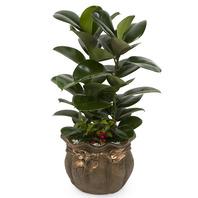 [플라워포유] 고무나무 (RM_RHS2052) [공기정화식물/관엽식물/개업화분/이사선물]