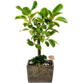 [플라워포유] 뱅갈고무나무(小) [관엽식물/공기정화/개업화분]