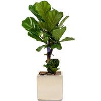 [플라워포유] 떡갈나무(小) [관엽식물/공기정화/개업/이사/화분]
