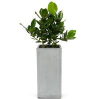 [플라워포유] 크루시아(FRP)(中) [관엽식물/공기정화/개업/이사/화분]