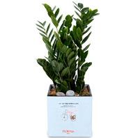 [플라워포유] 금전수(돈나무)(小) [관엽식물/공기정화/개업/이사/화분]