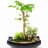 [플라워포유] 녹보수 (소) [관엽식물/공기정화/개업/이사/화분/도자기/분재]